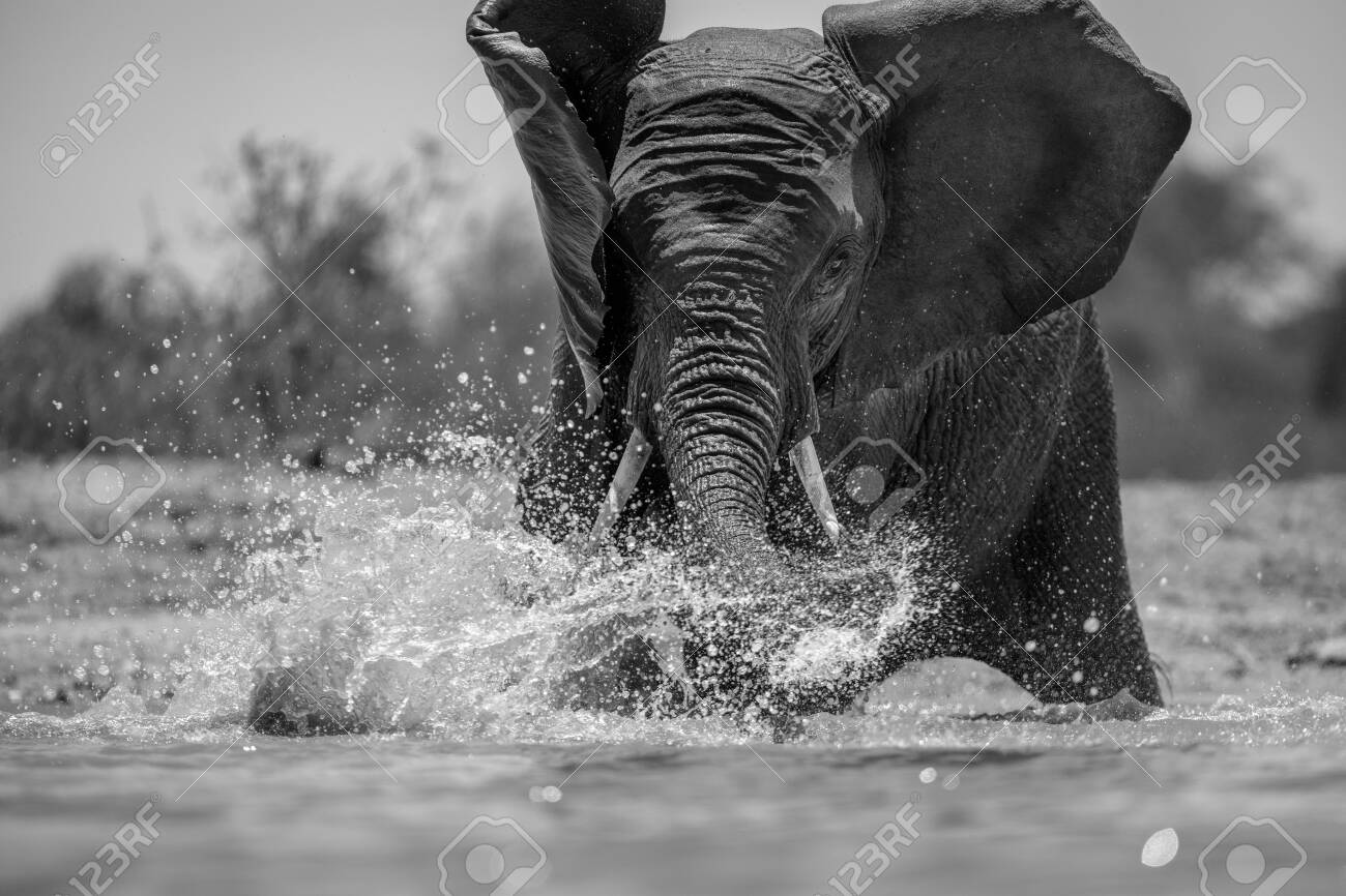 A close up black and white action portrait of a swimming elephant, splashing, playing and drinking in a waterhole at the Madikwe Game Reserve, South Africa. - 142555972