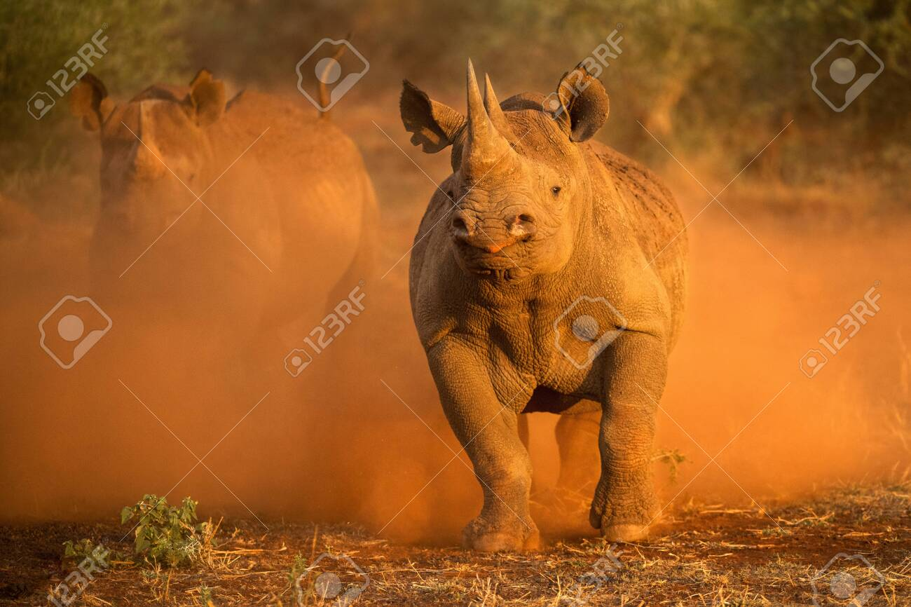 An action photograph of two female black rhinos charging at the game vehicle, kicking up red dust at sunrise, taken in the Madikwe game Reserve, South Africa. - 142555984