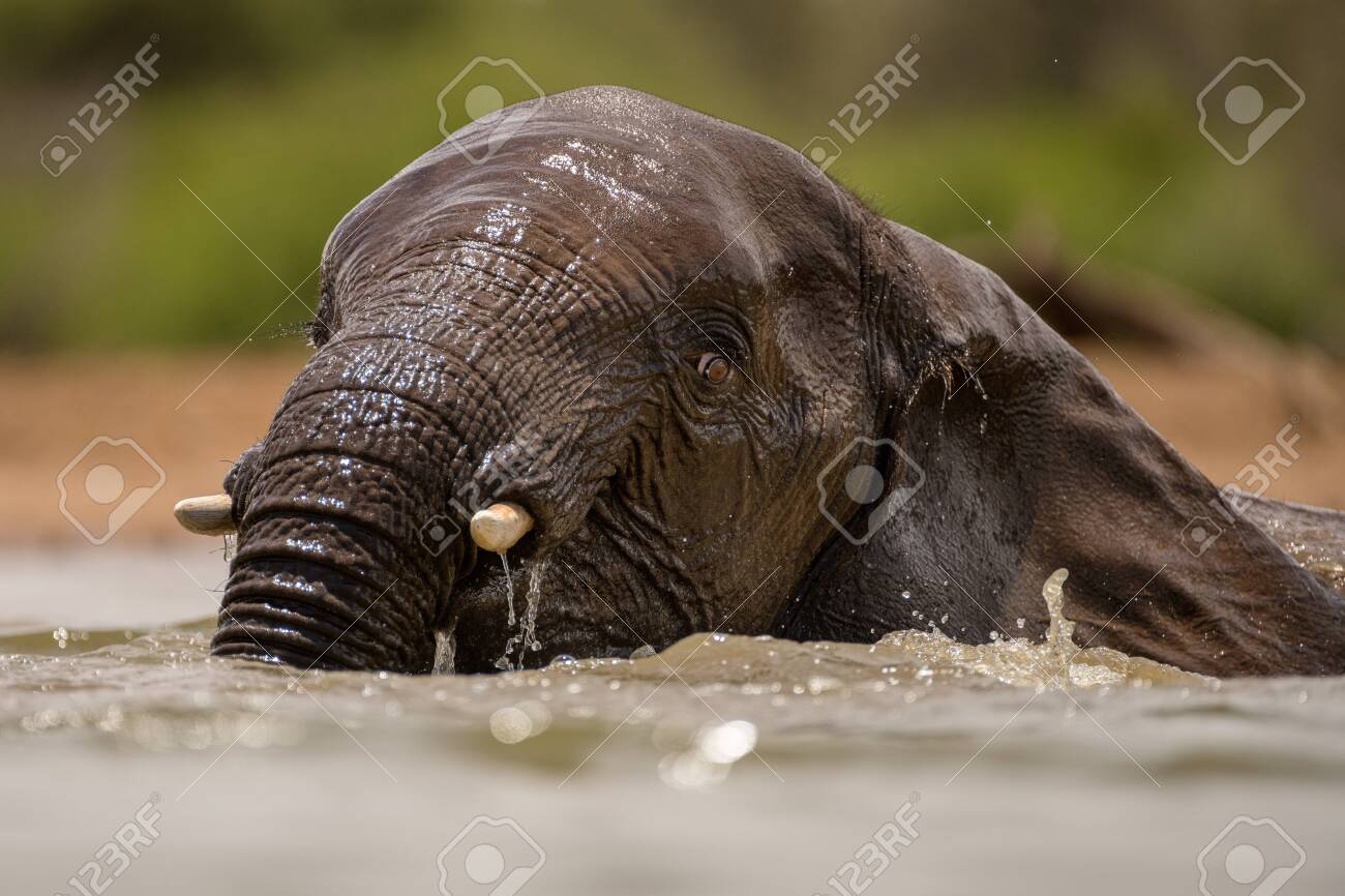A close up action portrait of a swimming elephant, splashing, playing and drinking in a waterhole at the Madikwe Game Reserve, South Africa. - 142555994