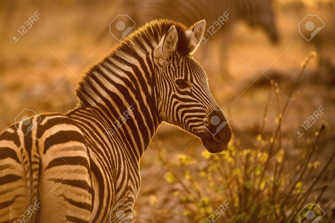 A beautiful portrait of a zebra at sunrise, looking towards the camera, with golden light, taken in the Madikwe Game Reserve, South Africa. - 142556002
