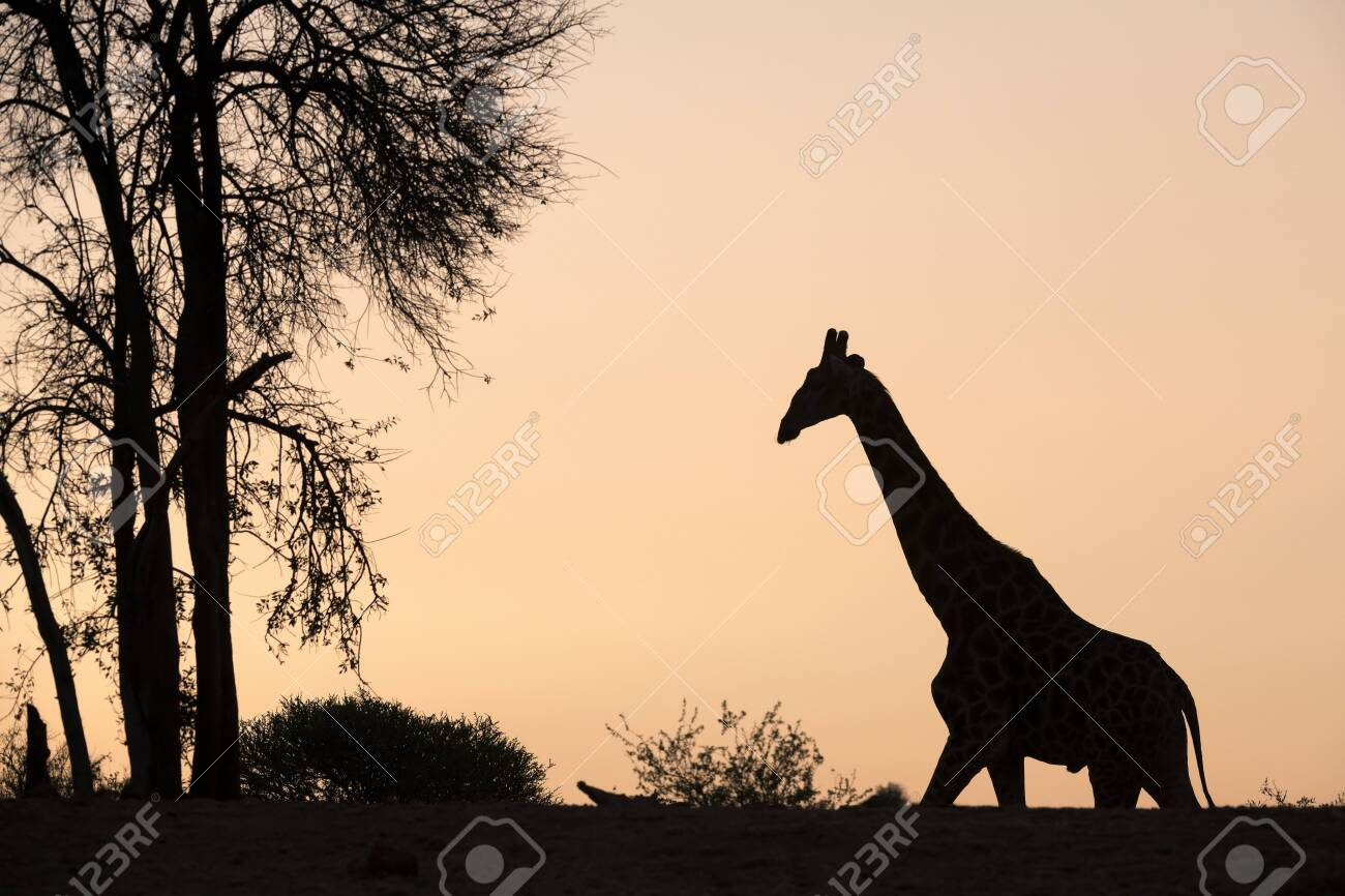 A beautiful and tranquil silhouette of a giraffe walking towards a tree against a golden orange sky at sunset, taken at the Madikwe Game Reserve, South Africa. - 142556005