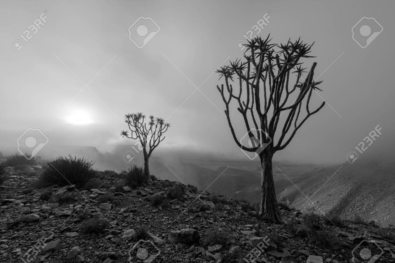 A moody black and white landscape taken on top of the arid and stark Fish River Canyon, Namibia, with two Quiver Trees in the foreground, and the golden sun breaking through the mist at sunrise. - 142556020