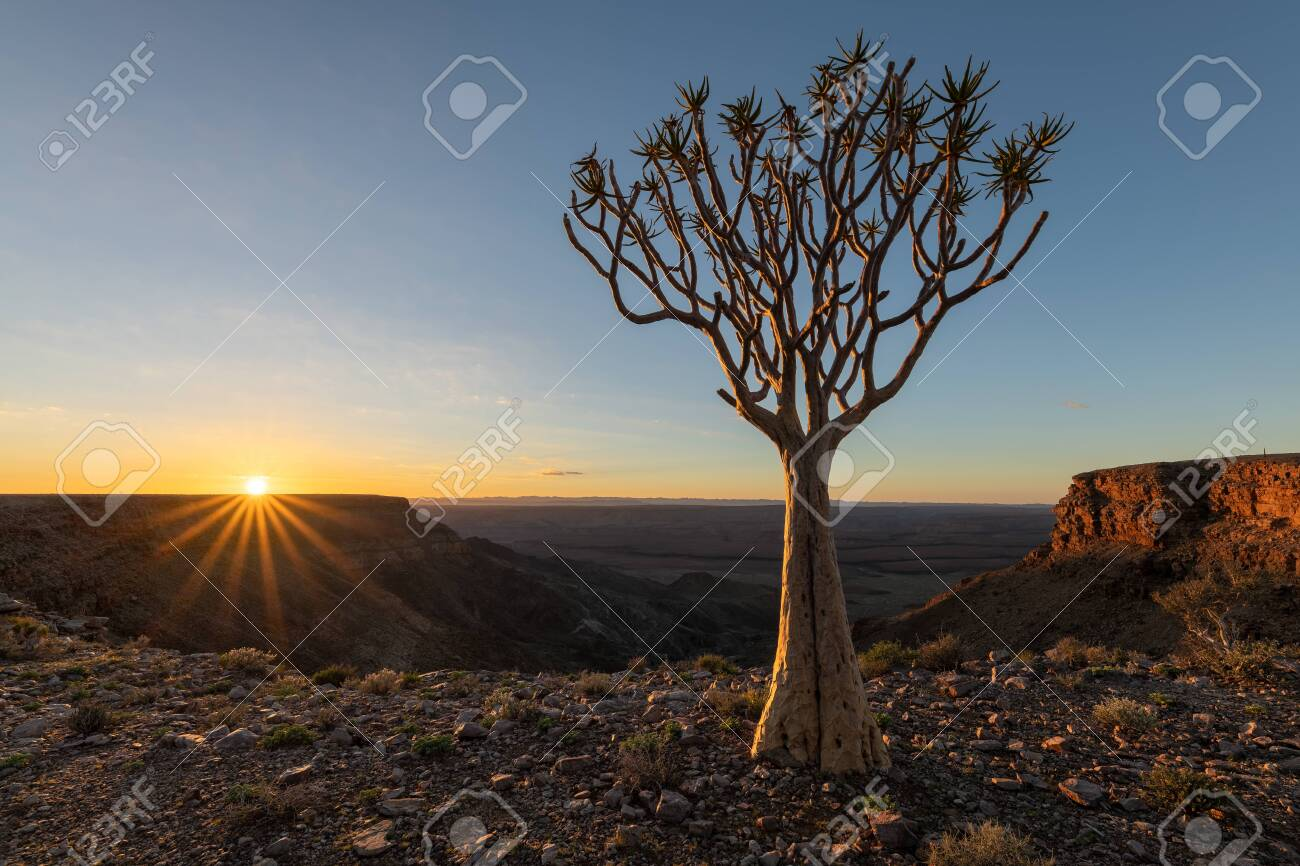 A moody sunrise landscape taken on top of the arid and stark Fish River Canyon, Namibia, with an ancient Quiver Tree in the foreground, and a golden sunburst against a blue sky on the horizon. - 142556026