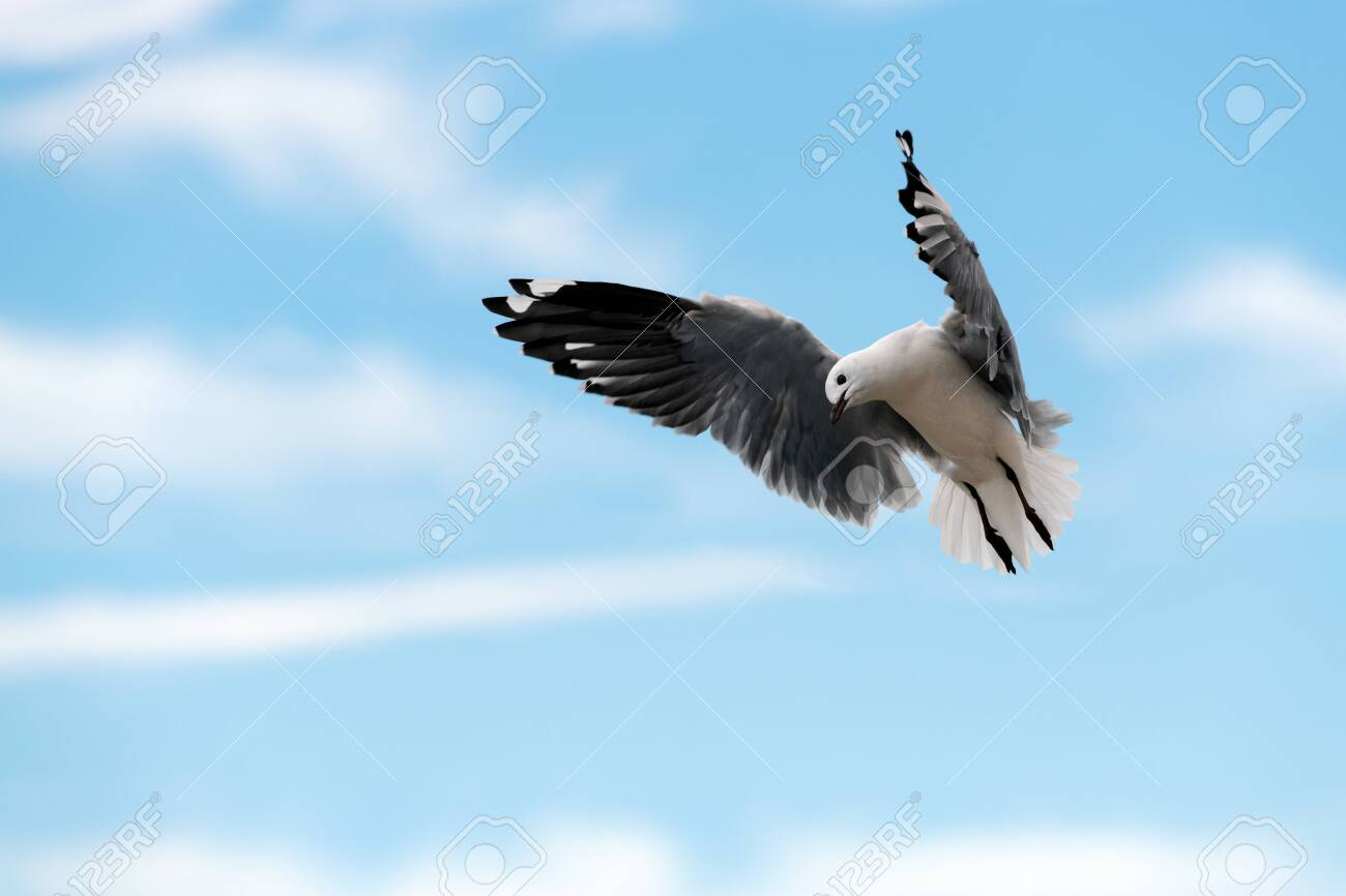 A close up action photograph of a seagull in flight against a blue sky with white clouds, taken in Port Nolloth, South Africa. - 142556644