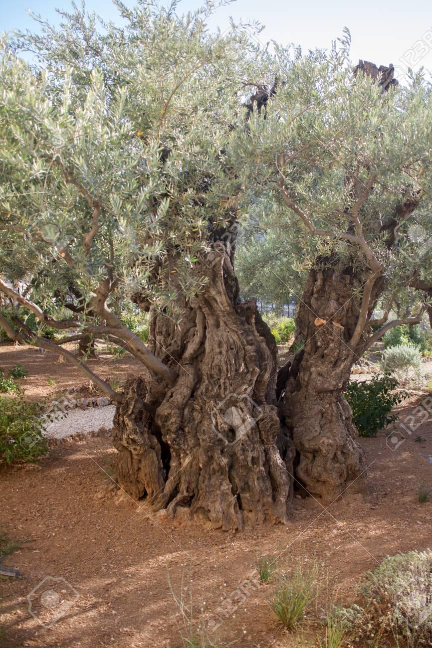 Garden Of Gethsemane.Thousand-year Olive Trees, Jerusalem Stock ...
