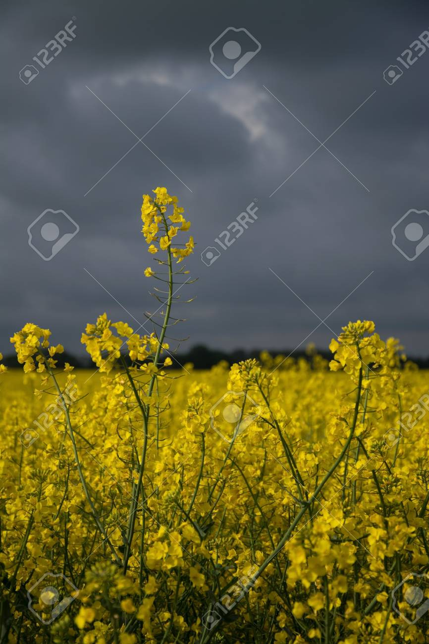 Rape Flowers In Germany In May Stock Photo Picture And Royalty