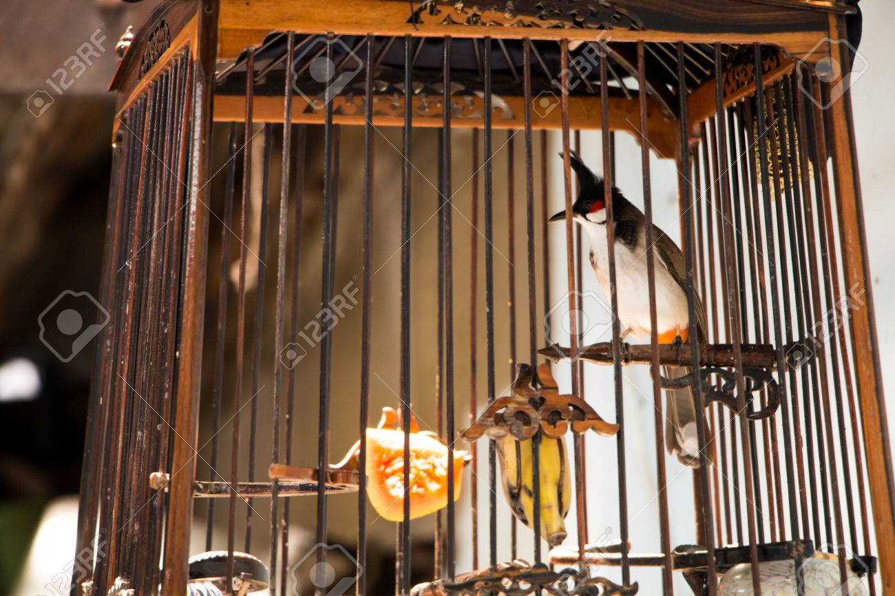 Red-whiskered Bulbul (Pycnonotus jocosus) in the bird cage  The