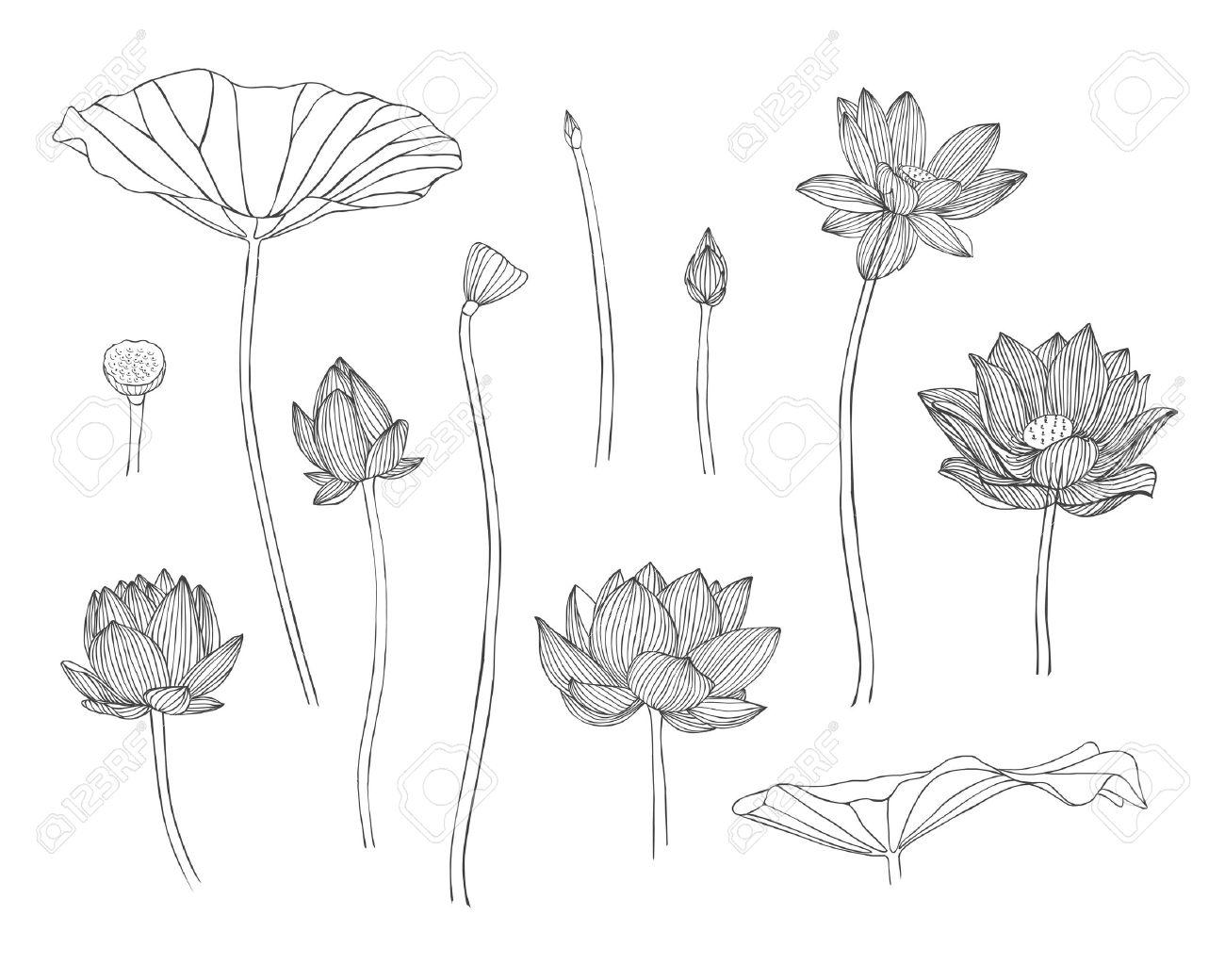 Engraving hand drawn illustration of lotus flower royalty free engraving hand drawn illustration of lotus flower stock vector 43470100 mightylinksfo