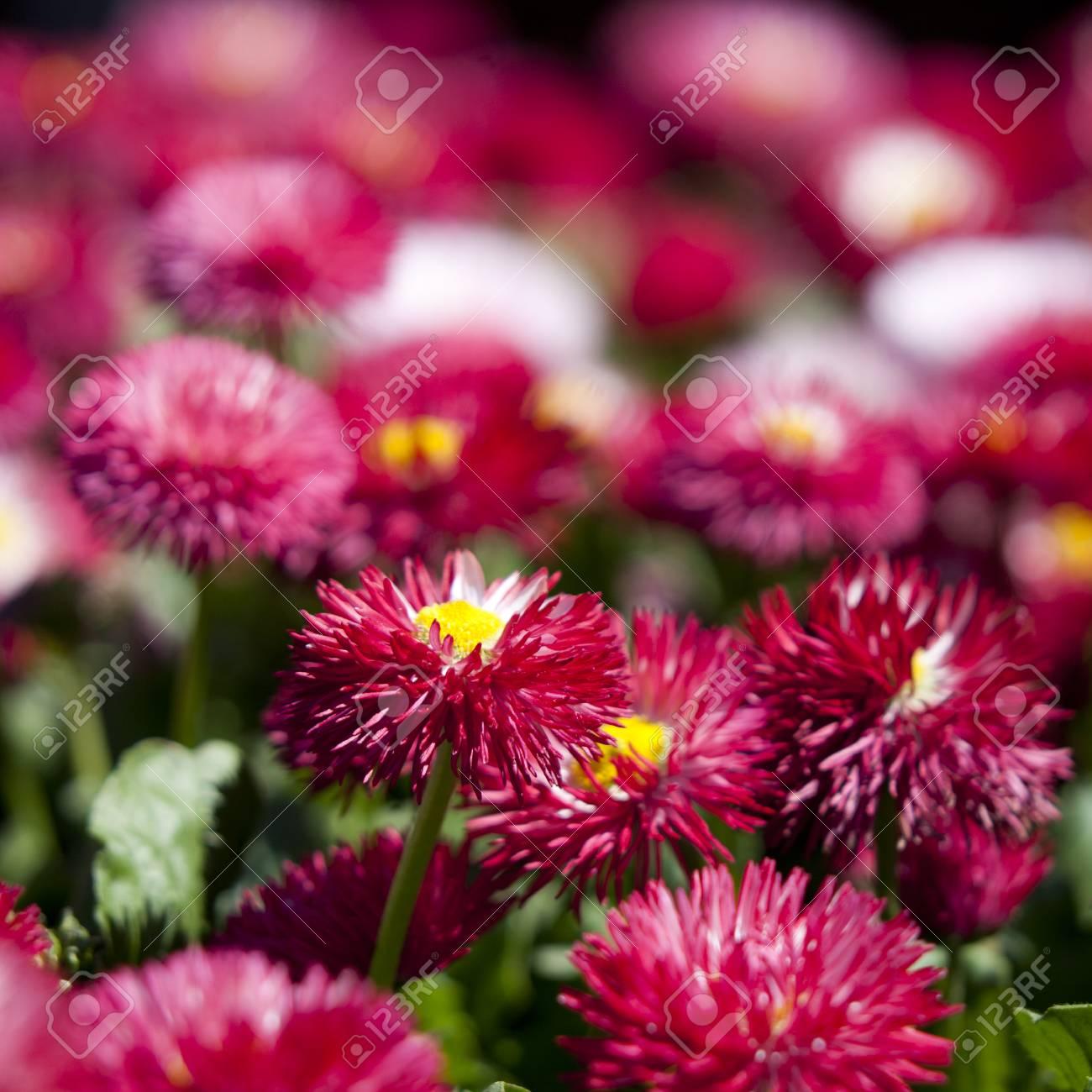 Berühmt Rosa Daisy (Margerite) Blumen Auf Frühling Blumenbeet Lizenzfreie @WD_19