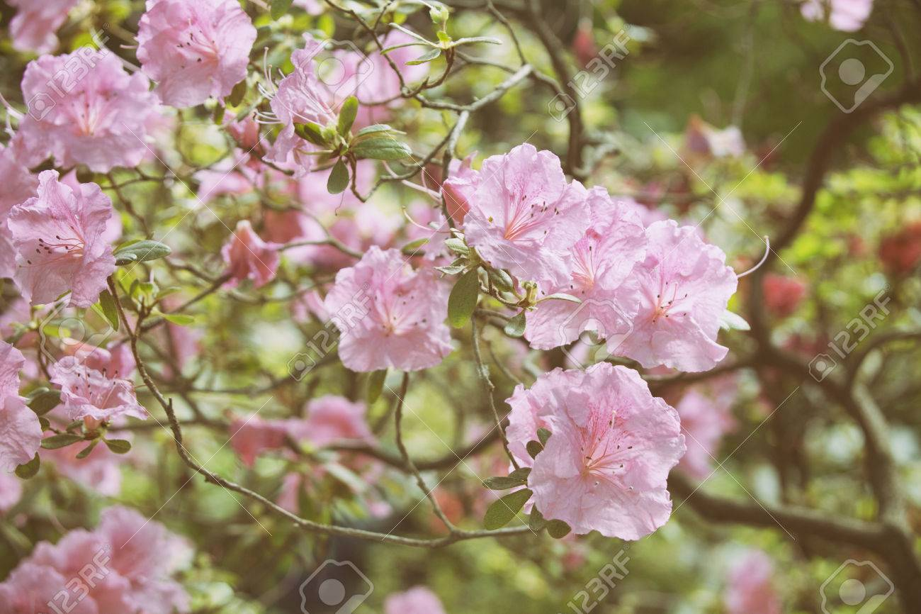 Rhododendron Pink Flowers Blooming Bush Spring Nature Stock Photo