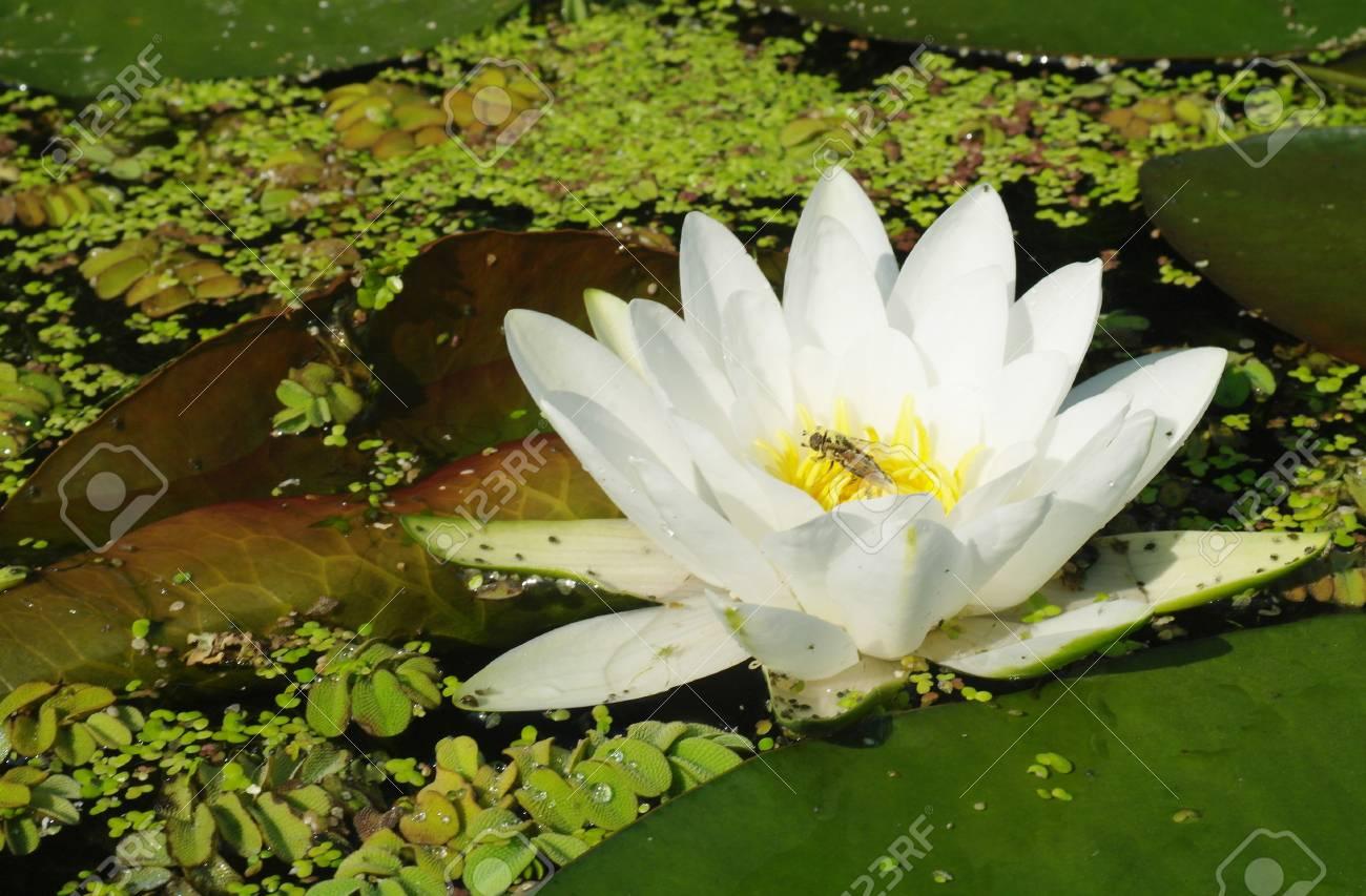 Hermosas Flores Blancas De Nenufares Fotos Retratos Imagenes Y