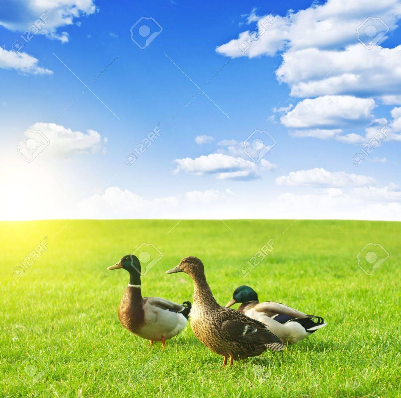 ducks on a green meadow under a cloudy sky - 16307644