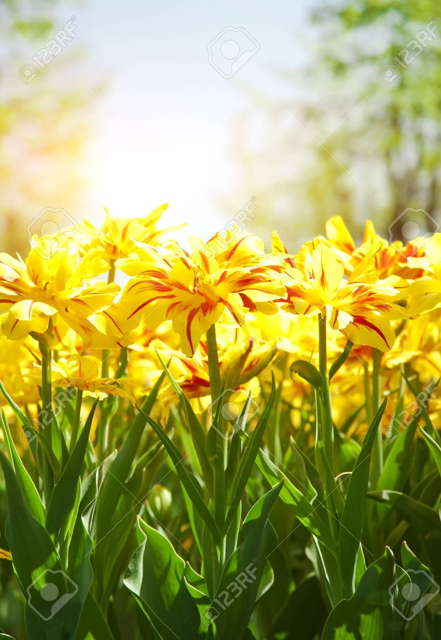 Spring background with beautiful yellow tulips in soft focus - 17138129