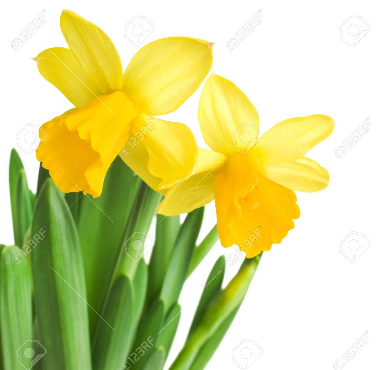 daffodils in green grass over white - 18409824
