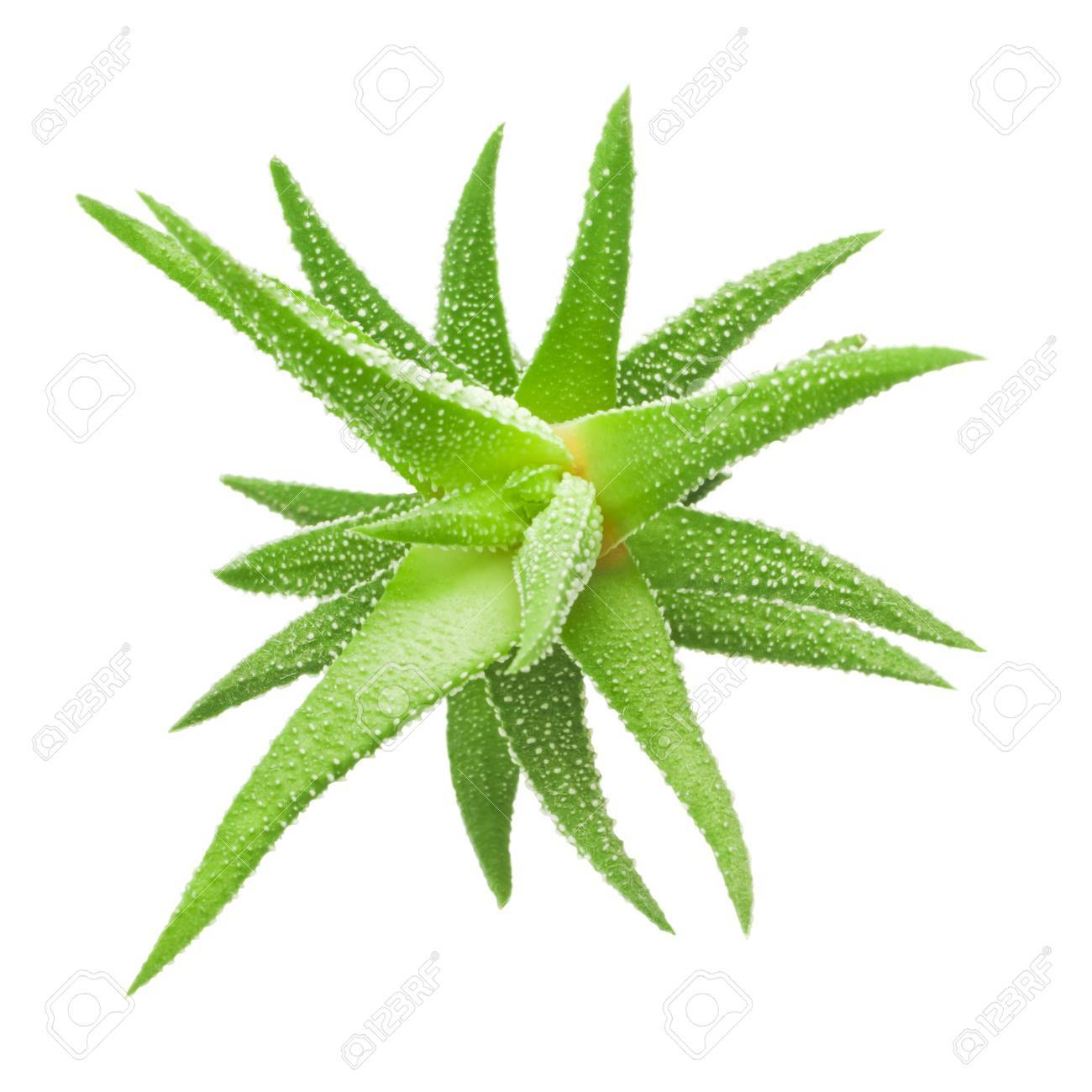 Green leaves of aloe plant close up Stock Photo - 19312696