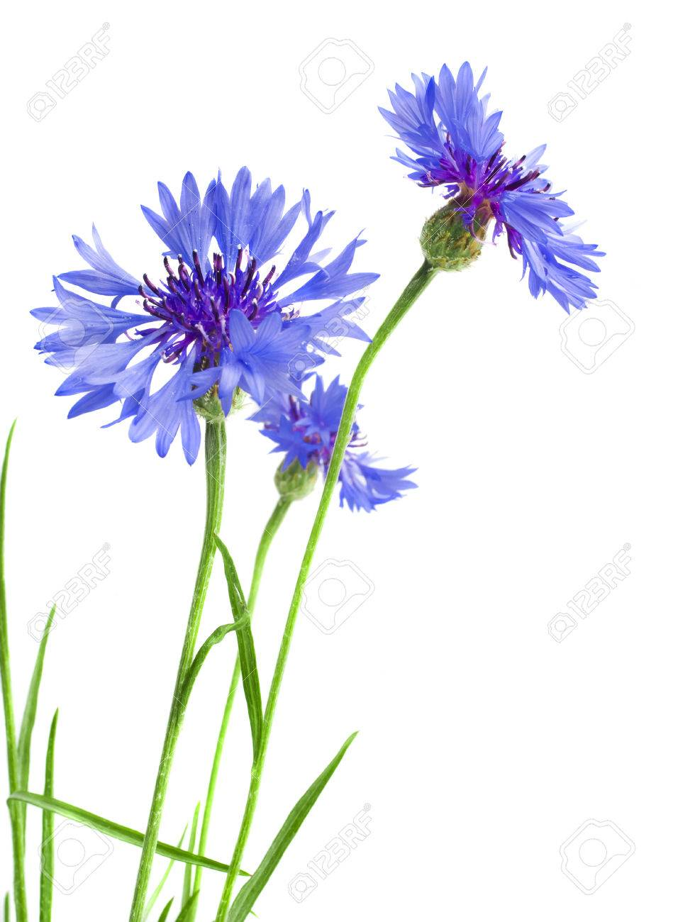 Beautiful blue cornflower isolated on white background Stock Photo - 23205925