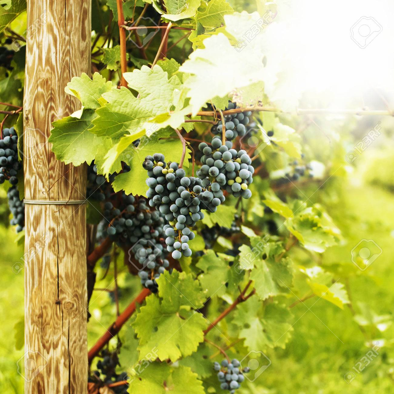 Several bunches of ripe grapes on the vine selective focus - 24901802