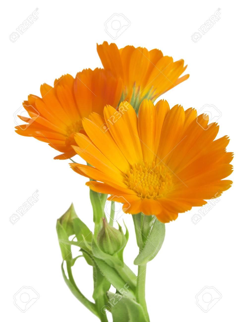 Calendula marigold flowers with leaves isolated on white stock marigold flowers with leaves isolated on white stock photo 42506472 mightylinksfo