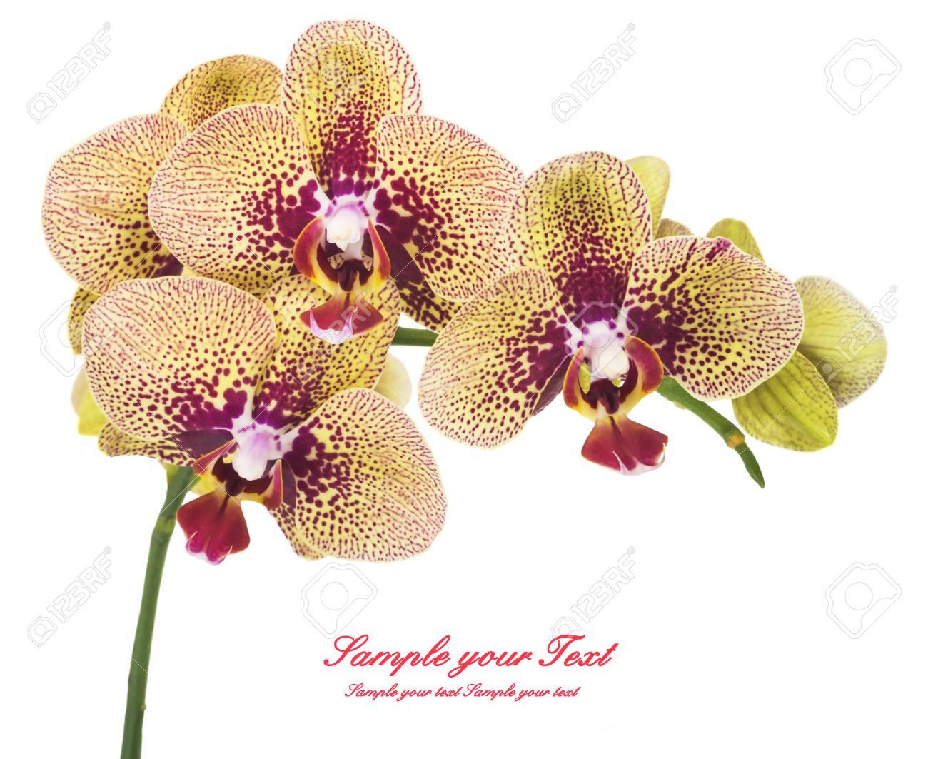 orquídea flores de orquídeas hermosas flores de orquídeas aislados