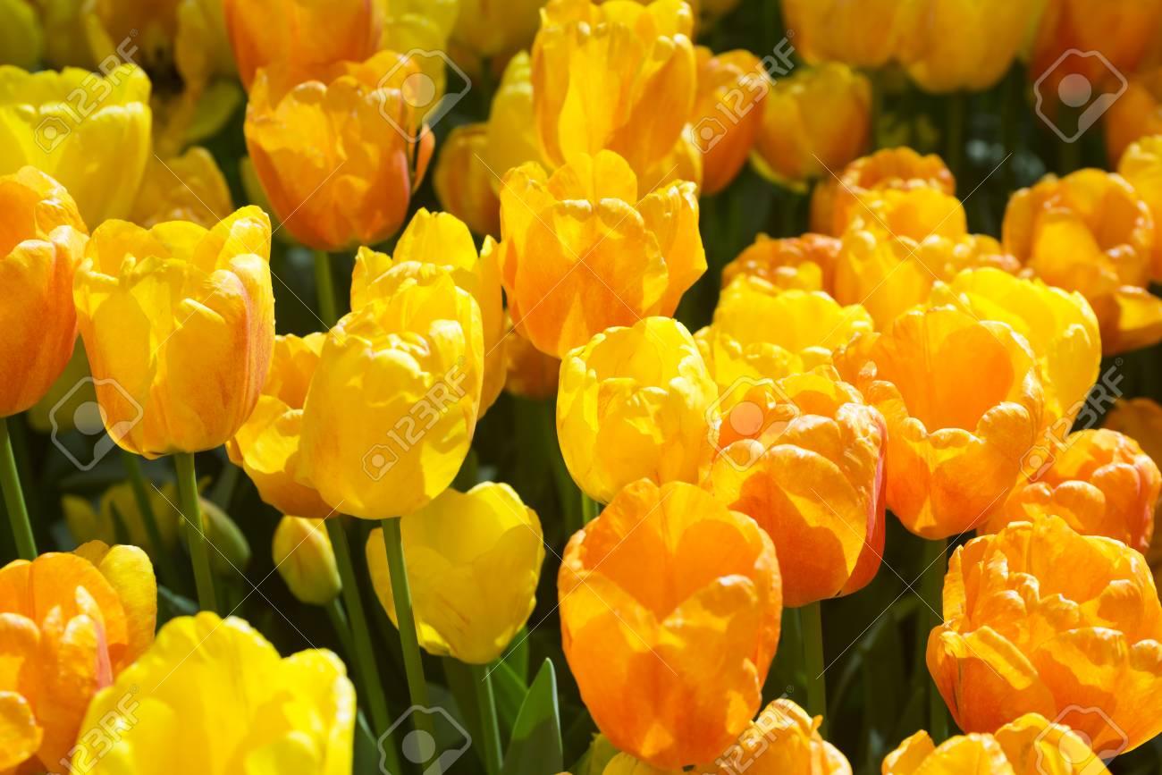 Lindas Duas Tulipas Coloridas Amarelas E Vermelhas Estão Próximas Muito Fundo De Flores Paisagem De Jardim De Verão Abra A Flor De Tulipa De Flor