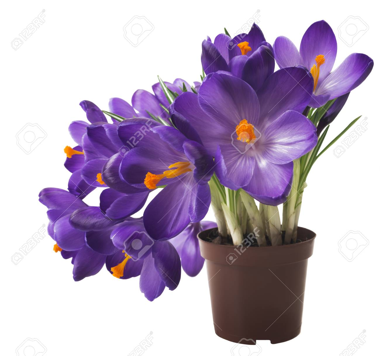 Beautiful crocus on white background fresh spring flowers stock beautiful crocus on white background fresh spring flowers violet crocus flowers bouquet mightylinksfo