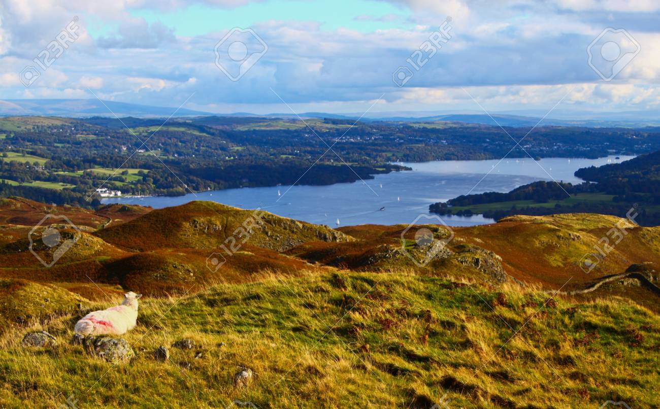 A Sheep overlooking Windermere Lake in the Lake District Stock Photo - 18445983