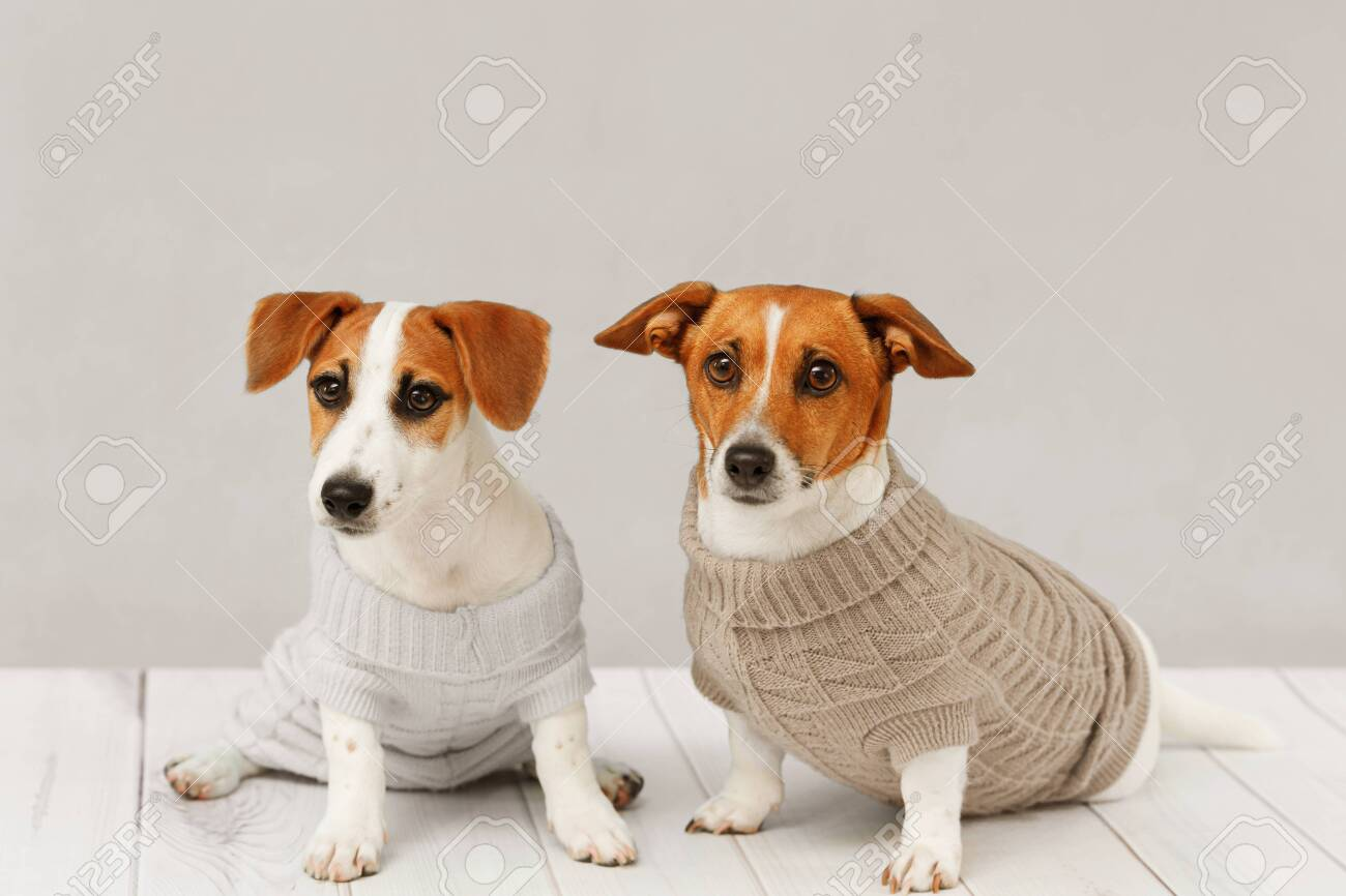 Portrait Of Cute Dogs In Knitted Blouses Studio Photo Of Jack Stock Photo Picture And Royalty Free Image Image 128854078