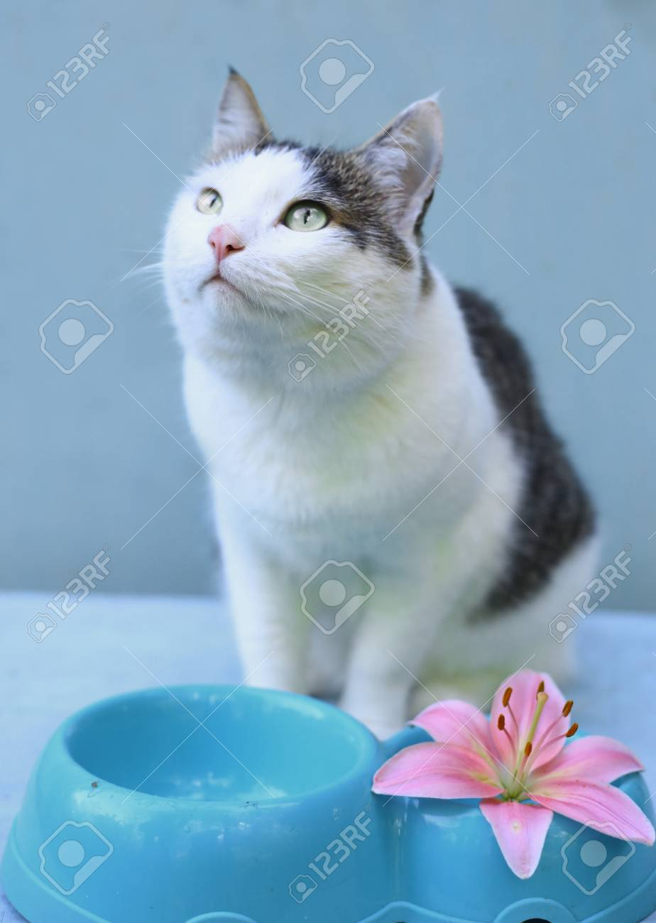 Hugry Cat Ask For Eating With Blue Bowl And Lily Flower In Water