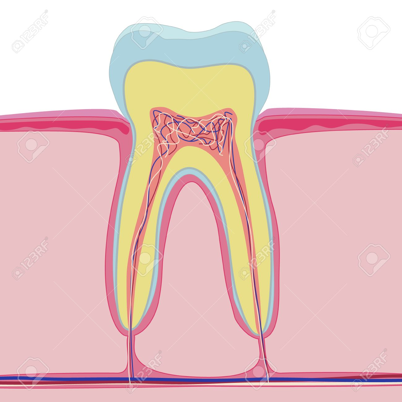 Vector Structure Of Human Tooth Isolated Anatomy On White