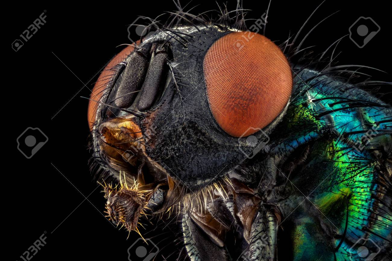 Portrait of a common green bottle fly magnified through a microscope