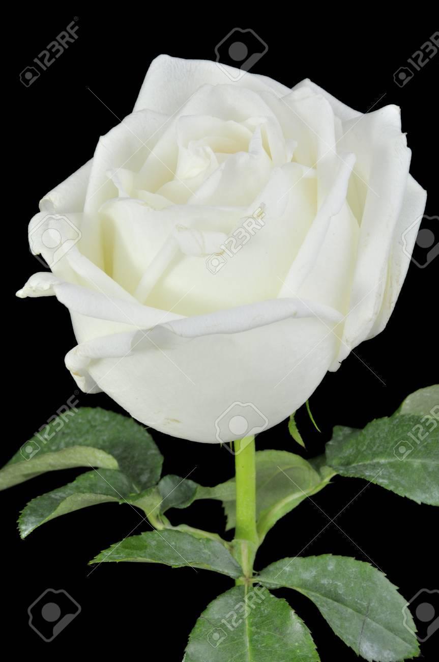White roses isolated on Black Background Stock Photo - 15219319