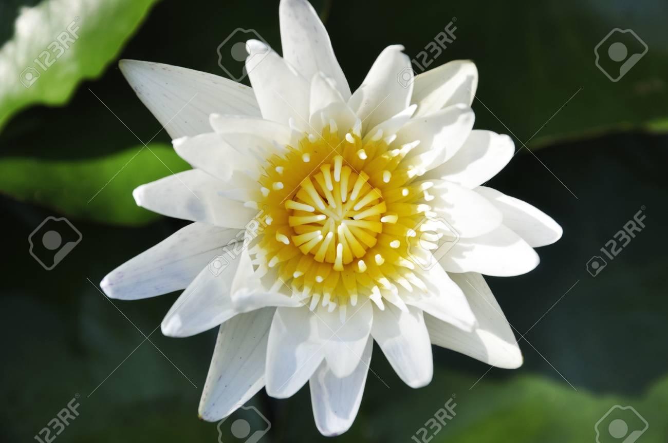 A closeup shot of a beautiful lotus flower Stock Photo - 15219281