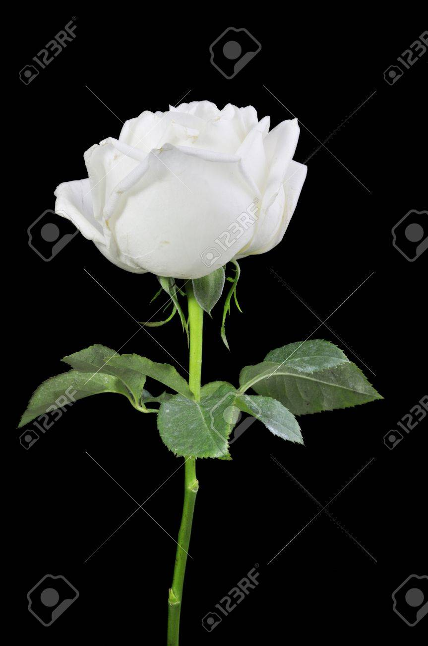 White roses isolated on Black Background Stock Photo - 15219230