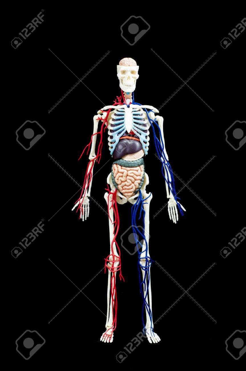 Tolle Menschliche Anatomie Und Physiologie Quizfragen Zeitgenössisch ...