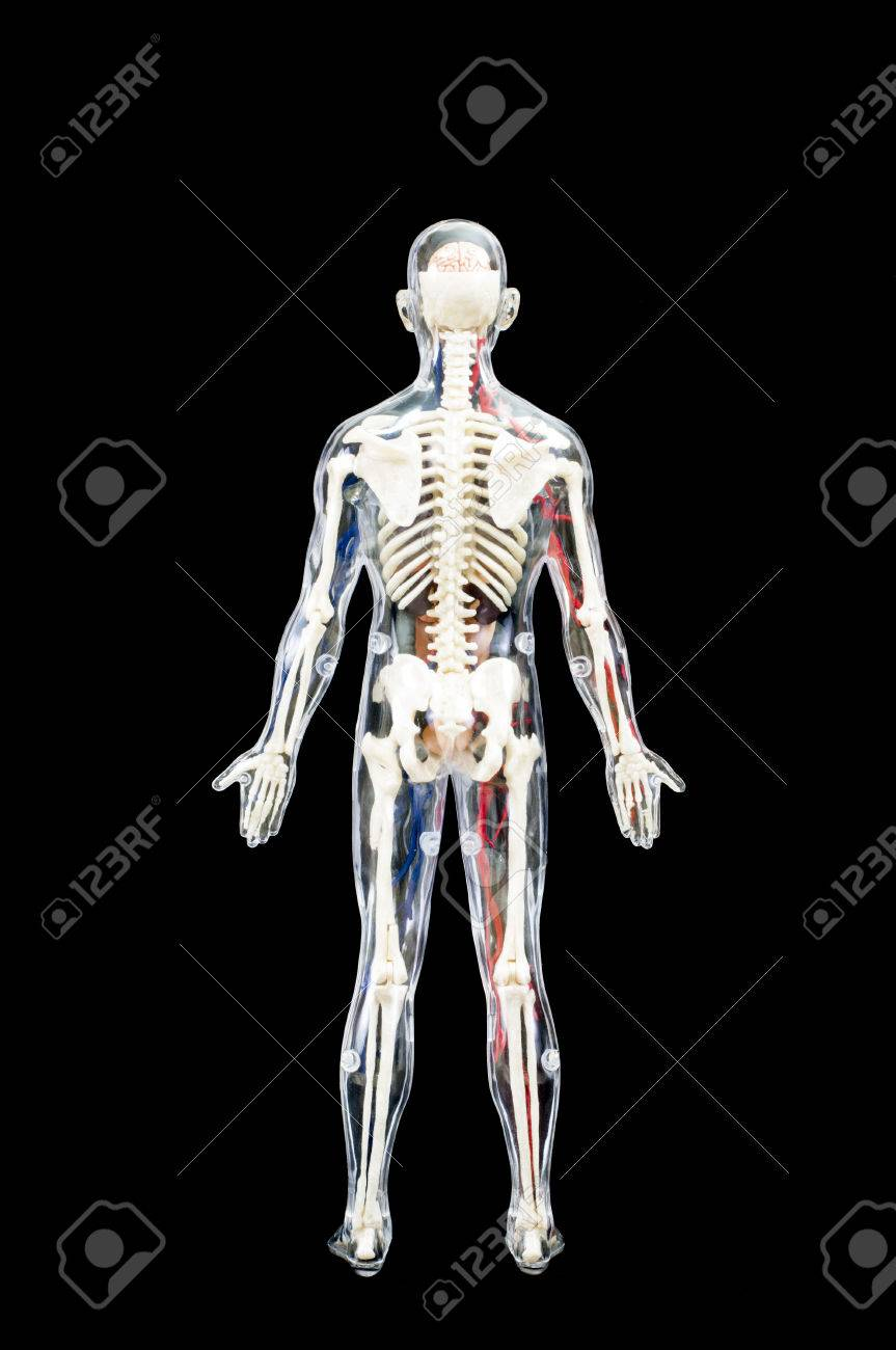 Internal Organ Diagram Back View.A Male Human Skeleton With Internal Organs Isolated On Black