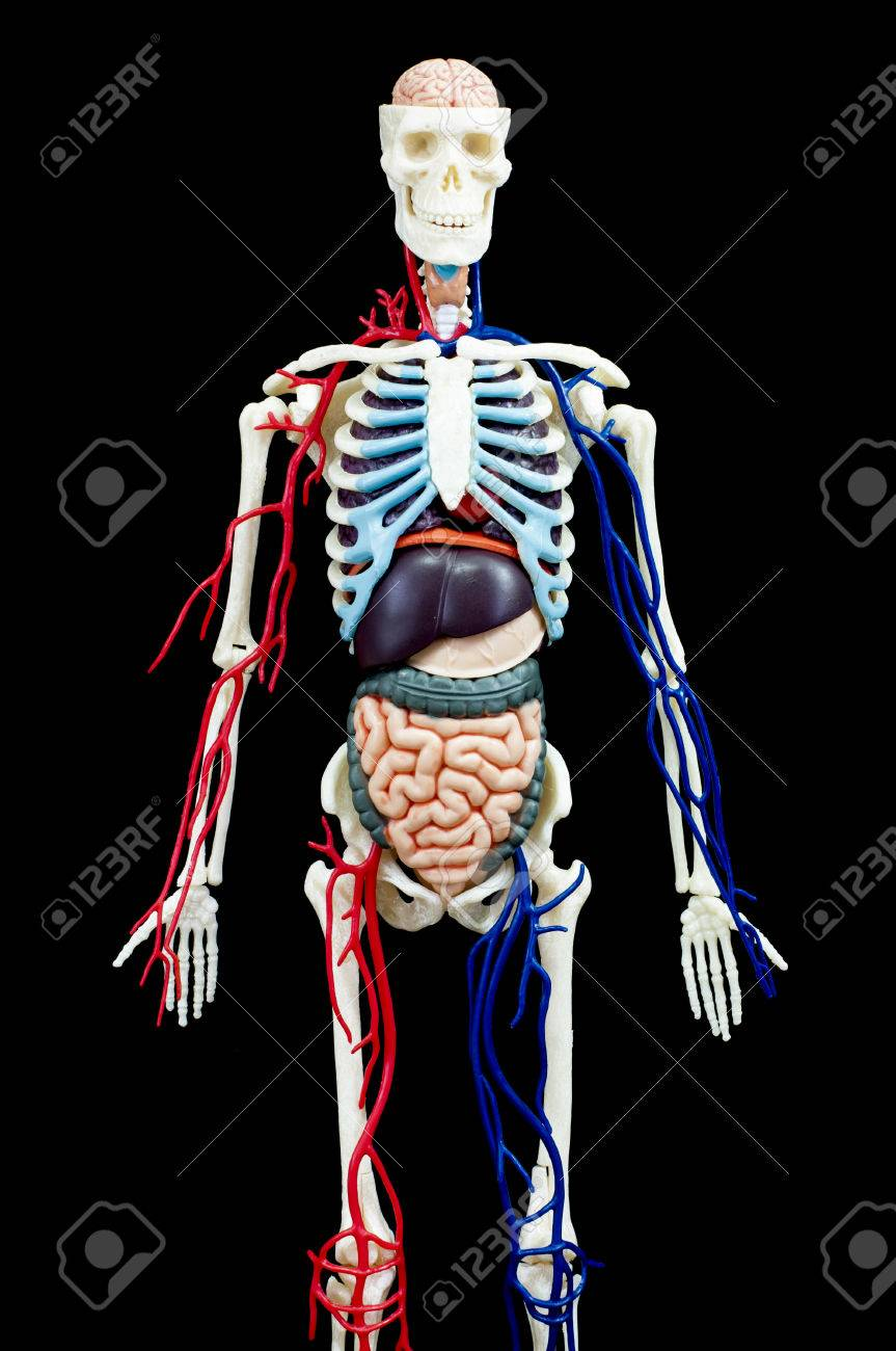 A male human skeleton with internal organs isolated on black stock a male human skeleton with internal organs isolated on black backgroundont view stock photo ccuart Images