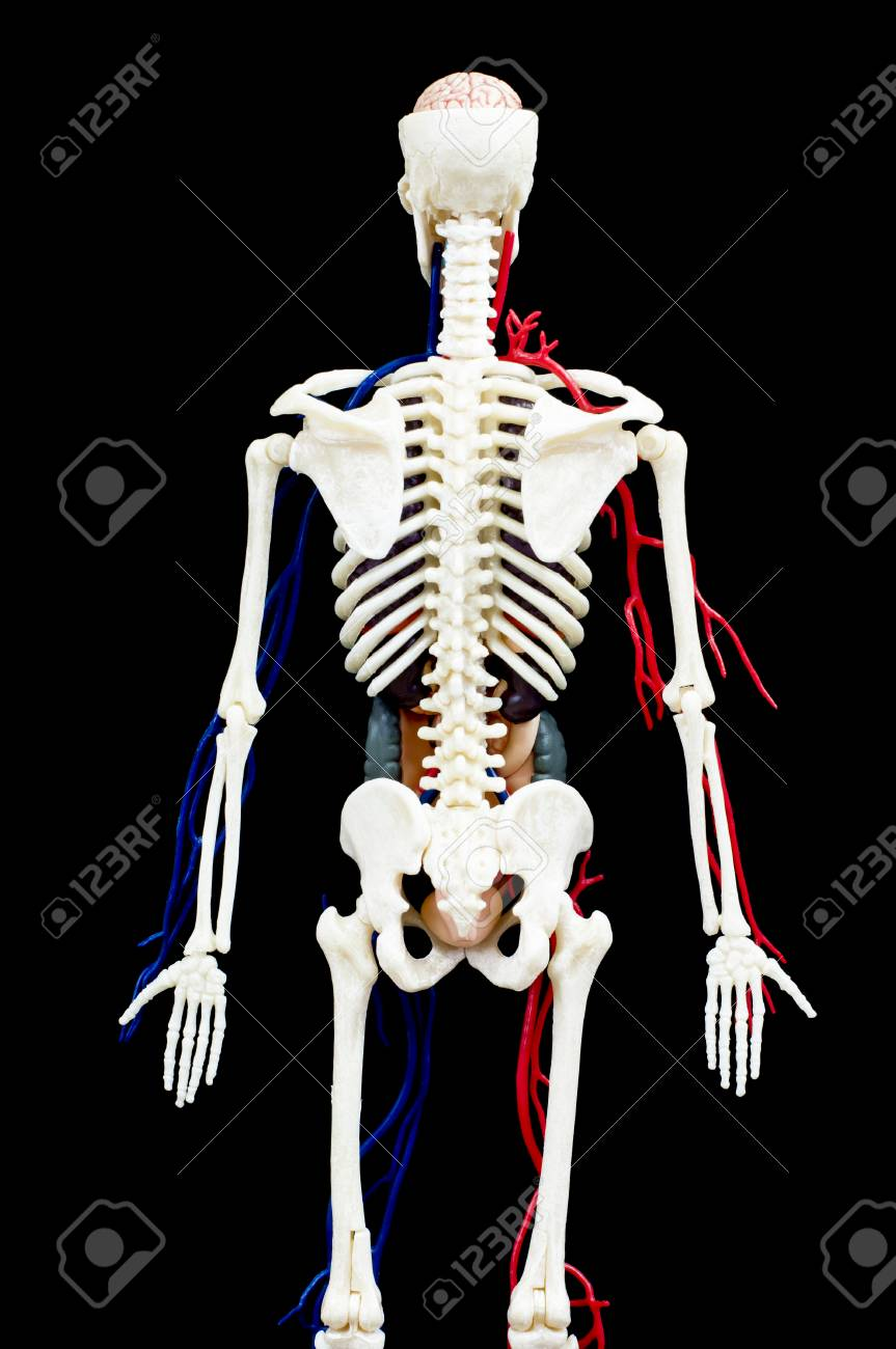 A male human skeleton with internal organs isolated on black stock a male human skeleton with internal organs isolated on black backgroundck view stock photo ccuart Images