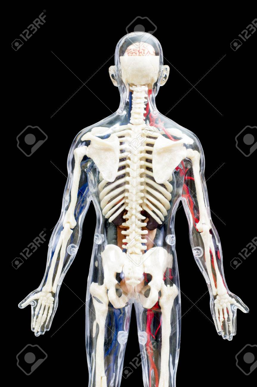 A Male Human Skeleton With Internal Organs Isolated On Black.. Stock ...