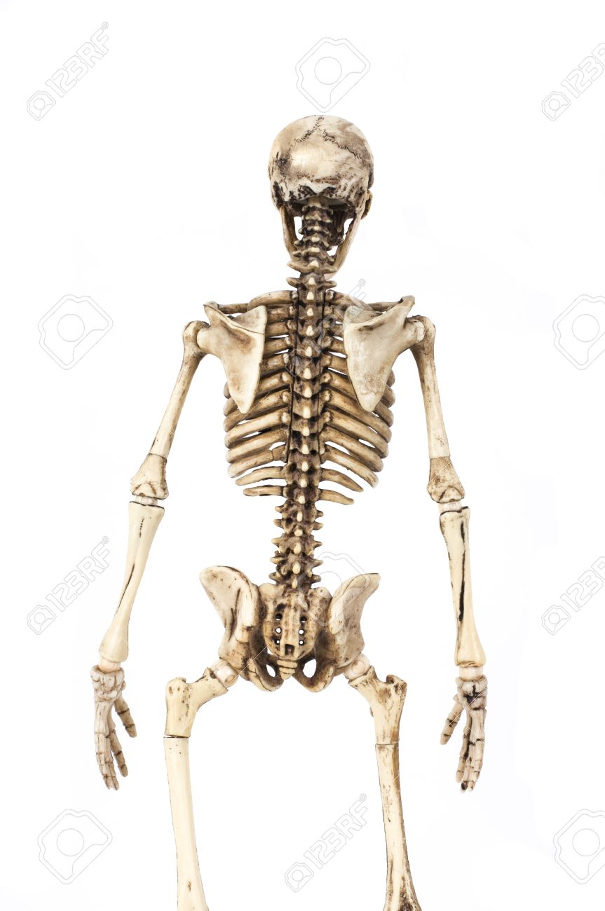 Half Length Portrait Of Human Skeleton Isolated On White Background