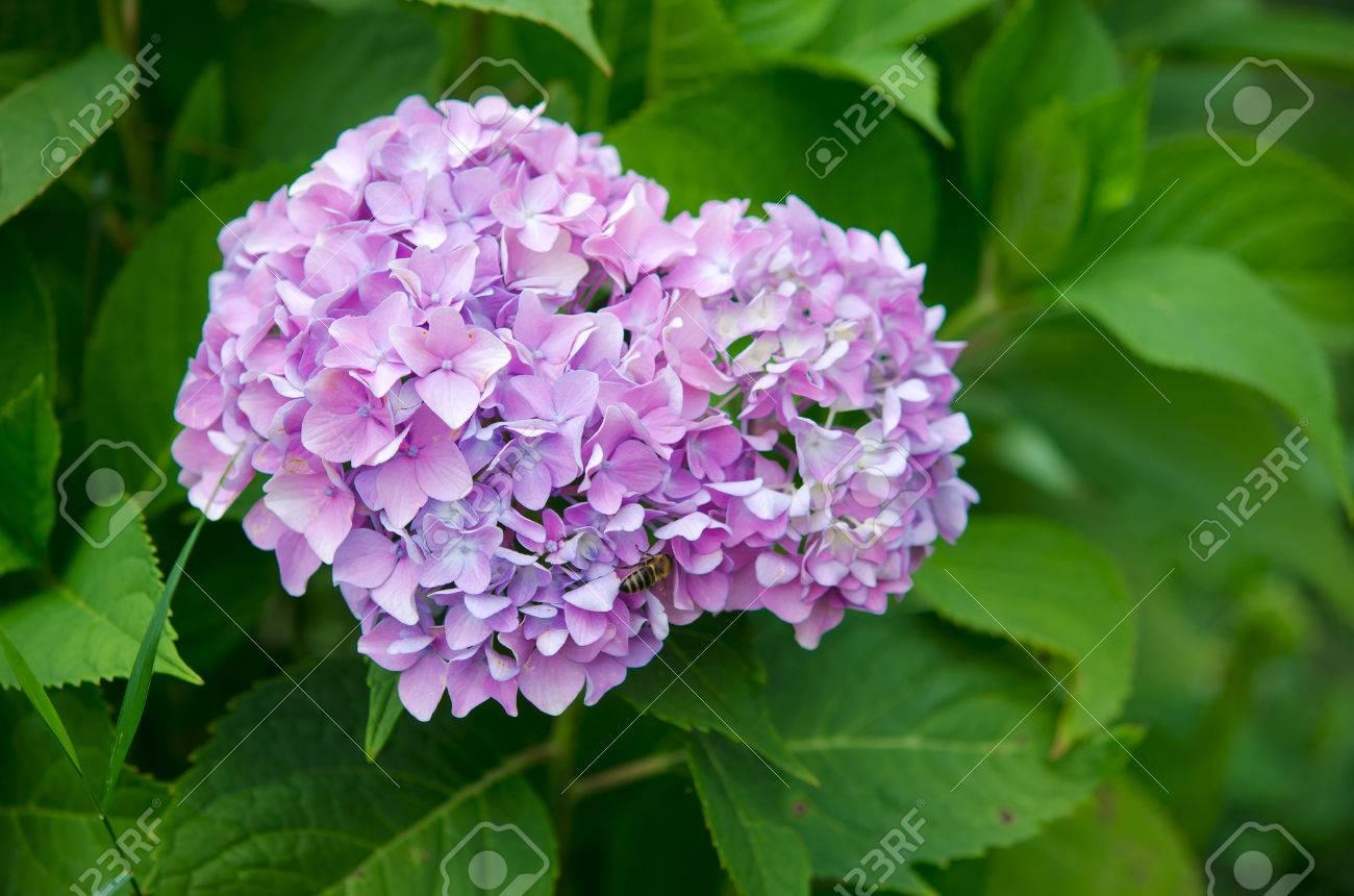 Hydrangeabig Leaf Hydrangealaurustinusbeautiful Purple Flowers