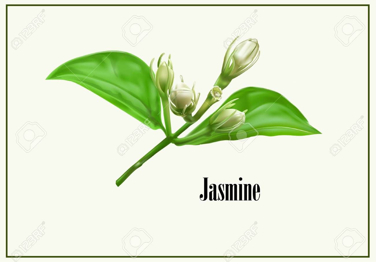 Jasmine Flower Icon Vector Illustration Royalty Free Cliparts