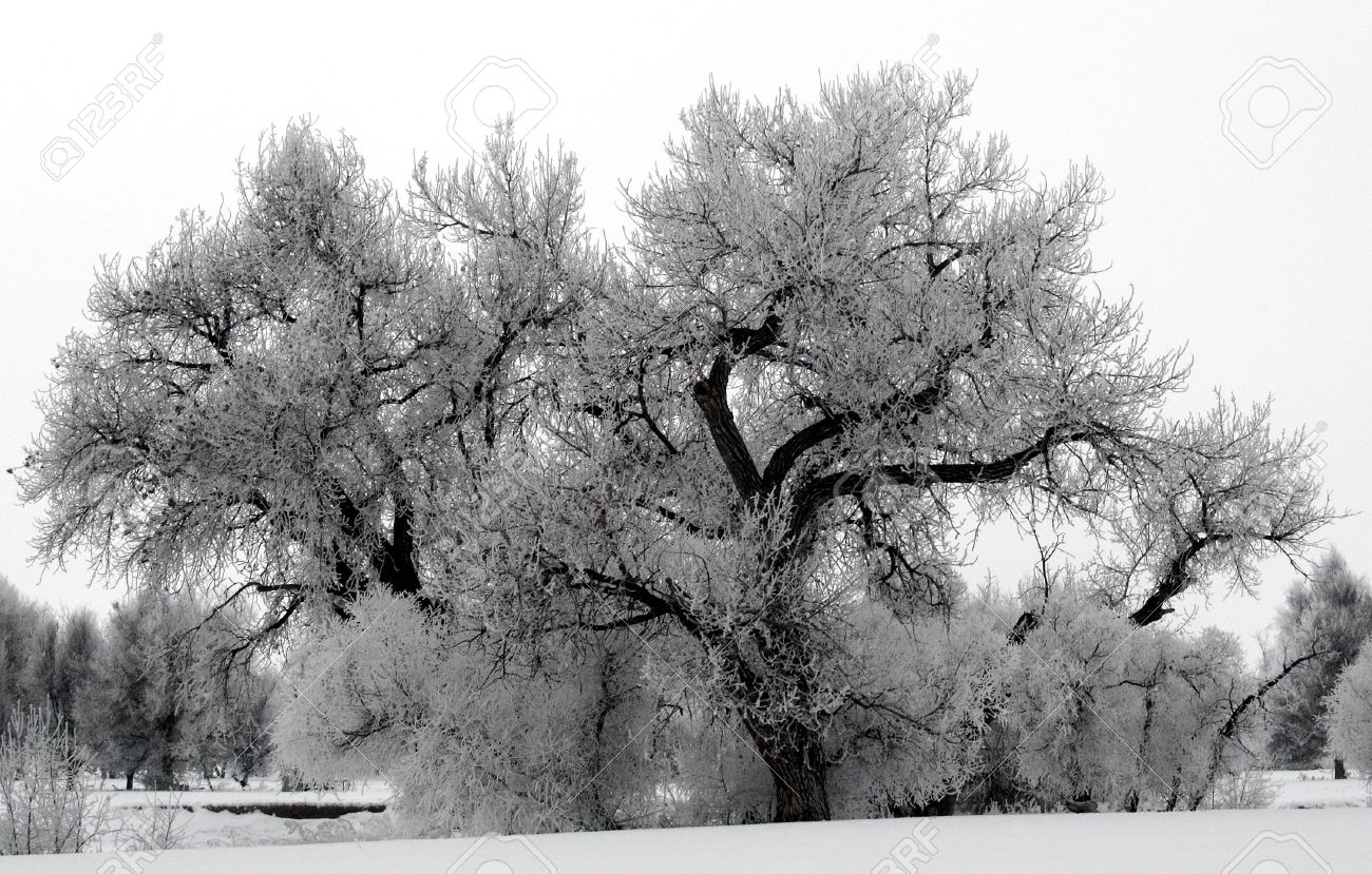 Frost Tree - Hoar frost blankets the trees on a foggy winter morning near the Big Thompson River. Stock Photo - 2079135