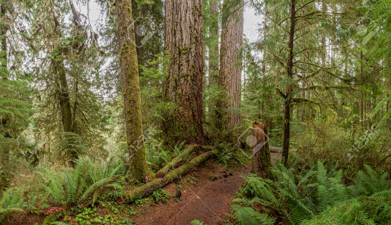 Quinault Rainforest, Olympic National Park, USA - 169029613