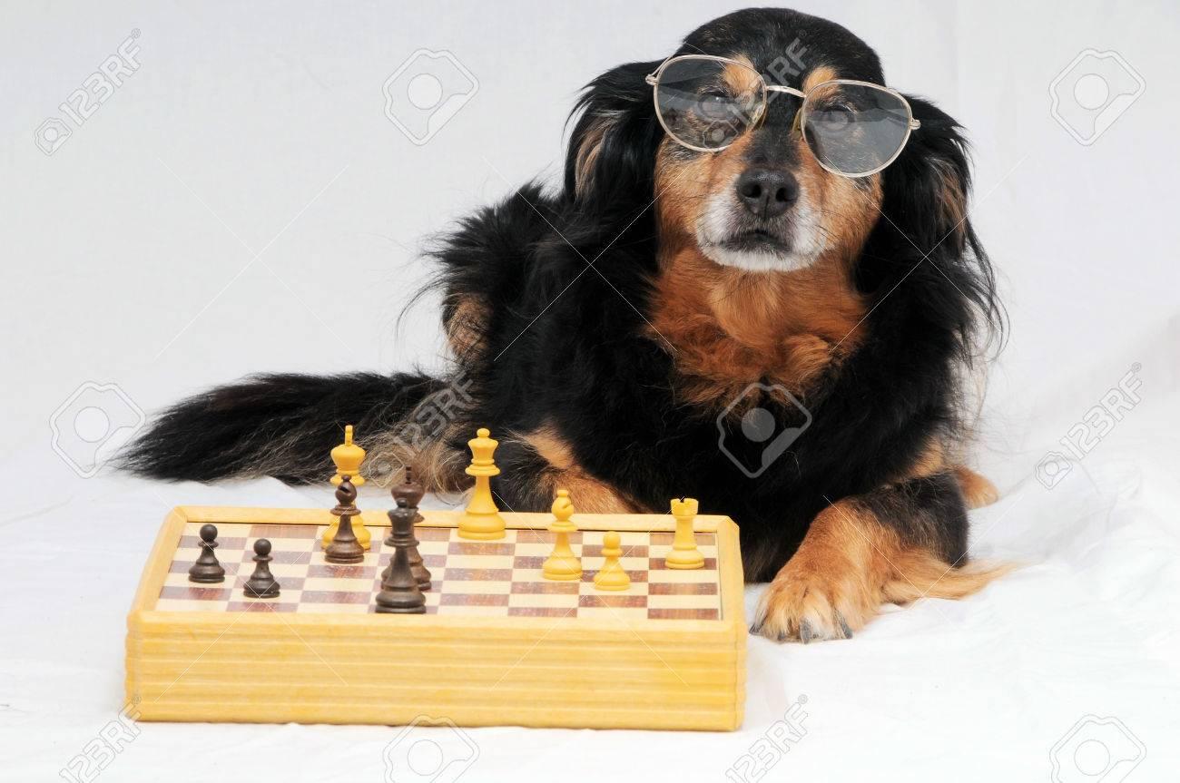 One Smart Black Dog Playing Chess Stock Photo - 22485255