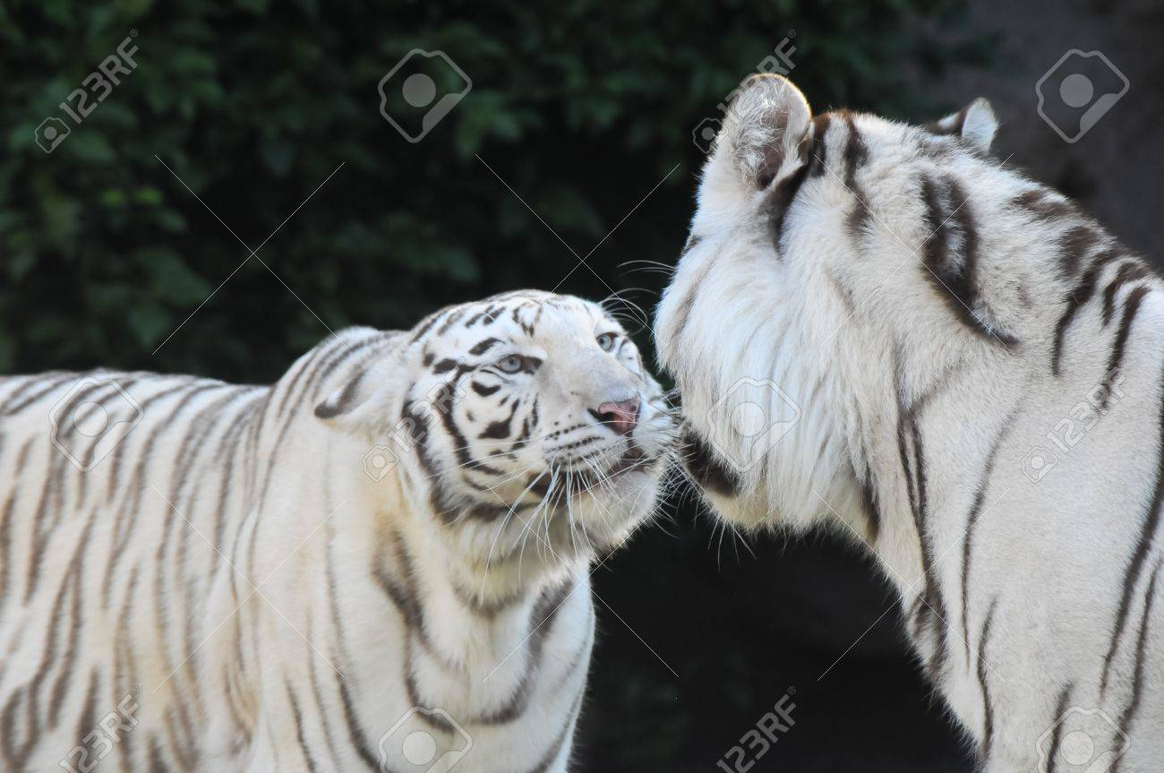 Rare black and white striped adult tigers
