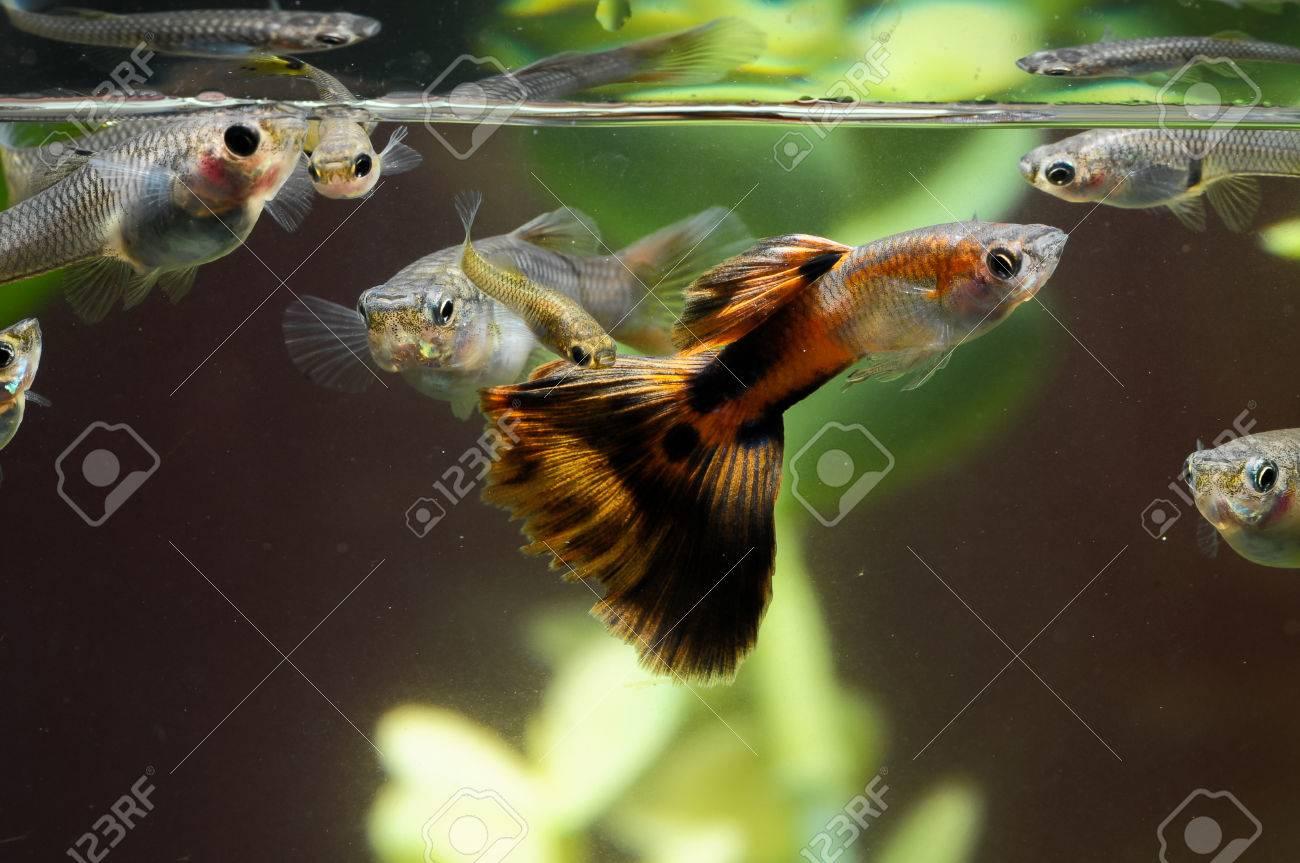 Guppy Multi Colored Fish in a Tropical Acquarium Stock Photo - 25853368