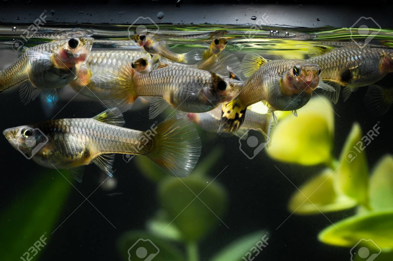 Guppy Multi Colored Fish in a Tropical Acquarium Stock Photo - 25906789