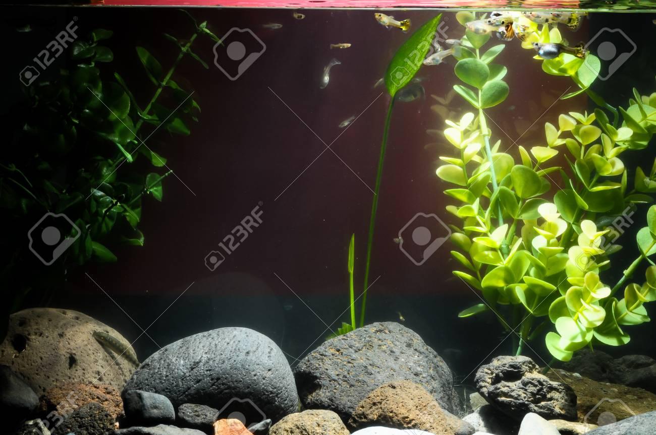 Guppy Multi Colored Fish in a Tropical Acquarium Stock Photo - 26057202
