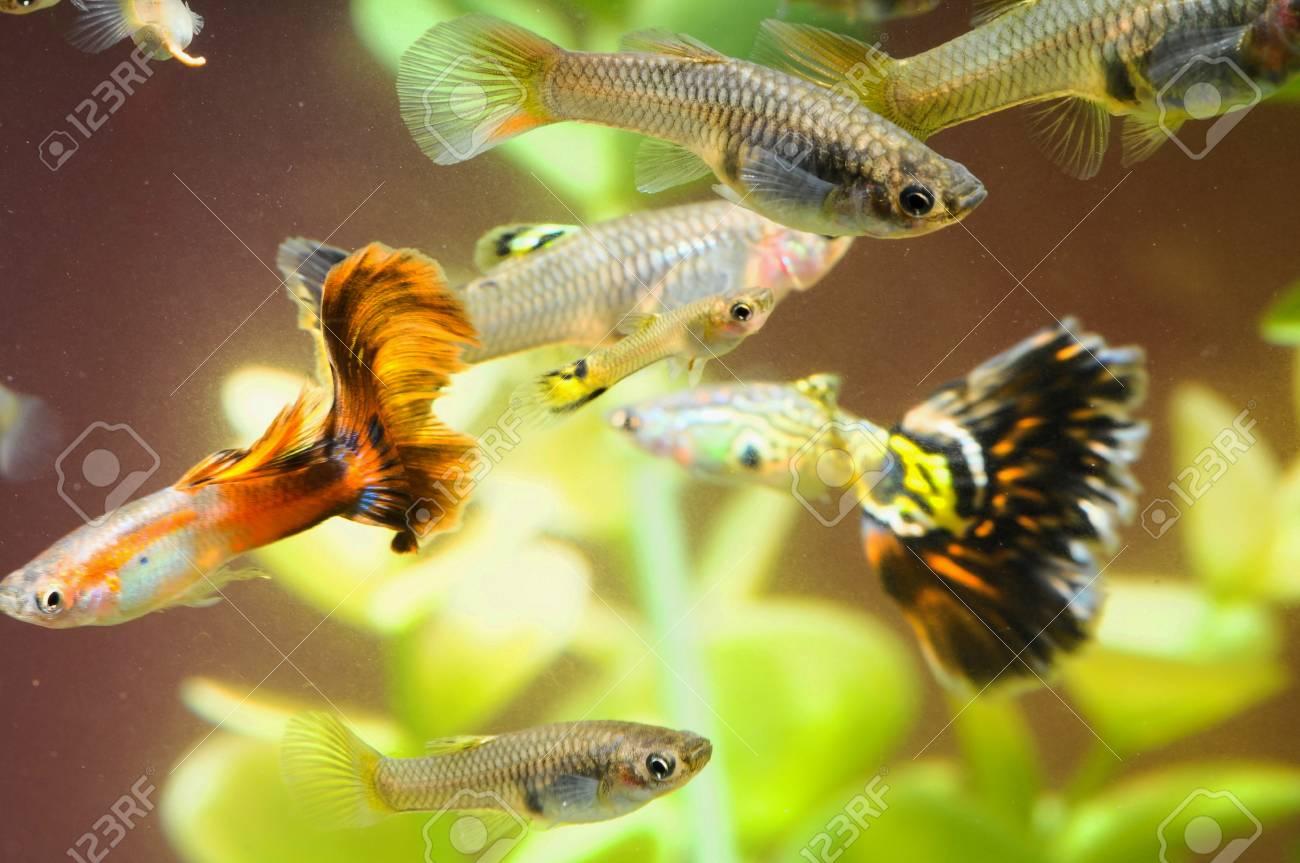 Guppy Multi Colored Fish in a Tropical Acquarium Stock Photo - 26091457