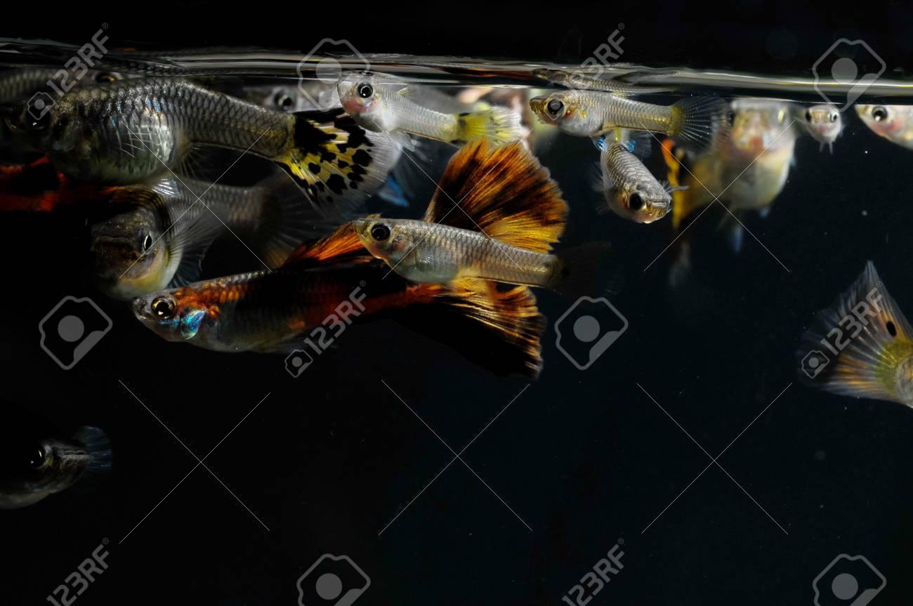 Guppy Multi Colored Fish in a Tropical Acquarium Stock Photo - 26165452